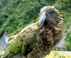 Планински папагали