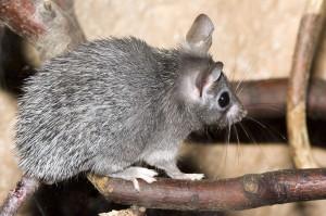 Критска бодлива мишка
