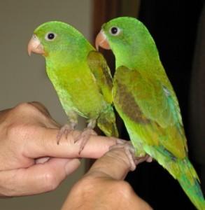 Дребни папагали