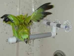 Къпане на папагала