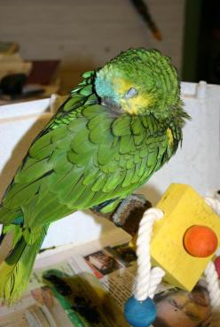 Вирусни болести при папагалите