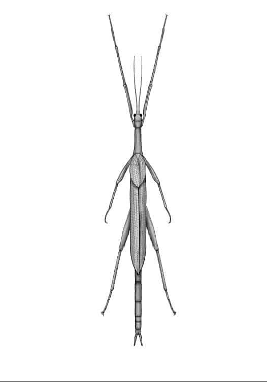 Австралийска гигантска пръчица