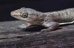 Азиатски гекон