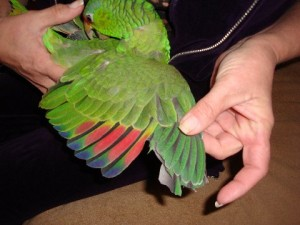 Подрязване крилата на папагала