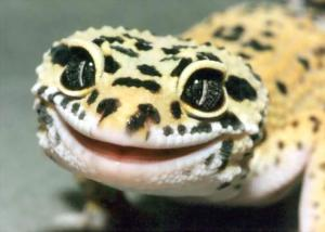Леопардов гекон