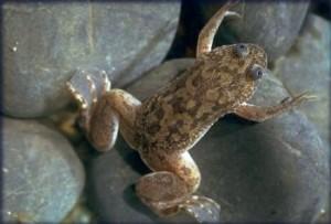 Ноктеста жаба джудже