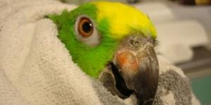 Болести при папагалите