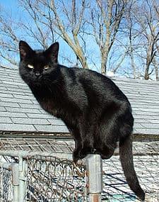 Черна европейска котка