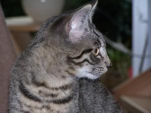 Европейски късокосмести котки