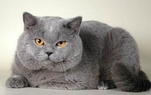Британски късокосмести котки