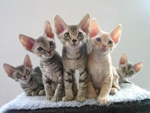 Котки рекс