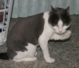 Късокосмести котки