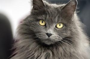 Дългокосмести котки