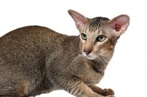 Ориенталски късокосмести котки
