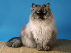 Персийска котка колор пойнт