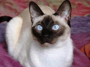 Сиамски котки