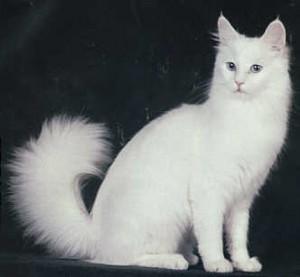 турска котка