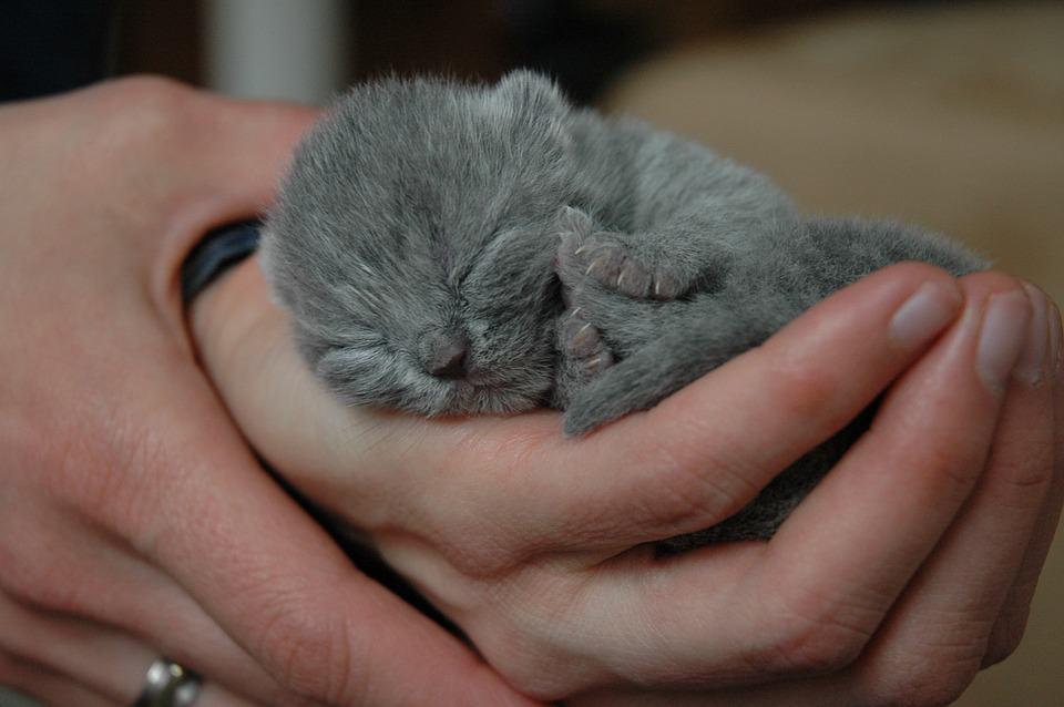 бебе британче котка