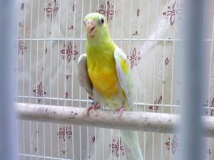 Златораменно пойно папагалче
