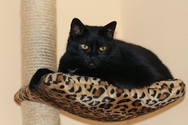 черна късокосместа европейска котка