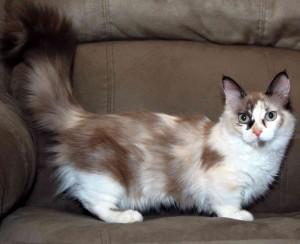 Мънчкин - Видове котки