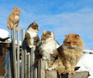 Йерархия при котките