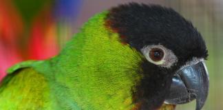пойно папагалче