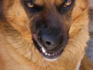 звукови сигнали издава кучето