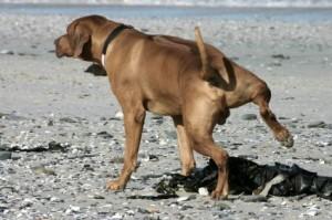 Маркиране на територия при кучетата