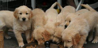 Хранене на малки кученца