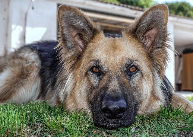 Възрастно куче