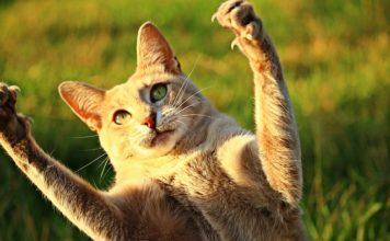 как да се грижим за ноктите на котката